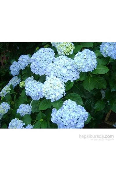Plantistanbul Ortanca Fidanı, Mavi, Saksıda, 40-60 Cm