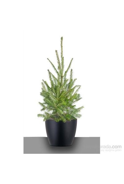 Plantistanbul Yılbaşı Ağacı, Batı Ladini +60Cm