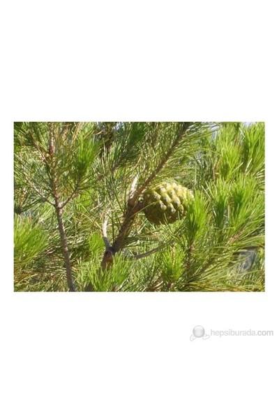 Plantistanbul Fıstık Çamı Fidanı 60-80 Cm