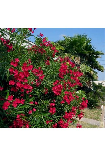 Plantistanbul Nerium Oleander-Zakkum Fidanı Kırmızı