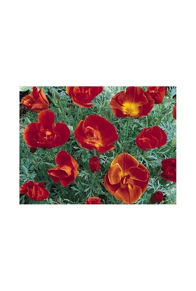 Vilmorin Acem Lalesi Kırmızı Çiçek Tohumu