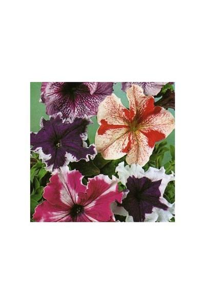 Vilmorin Alacalı Karışık Renkli Kısa Petunya Çiçek Tohumu