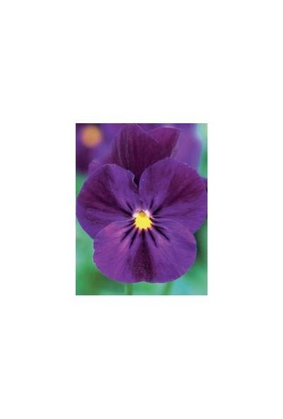 Vilmorin Hercai Menekşe (Mor) Çiçek Tohumu