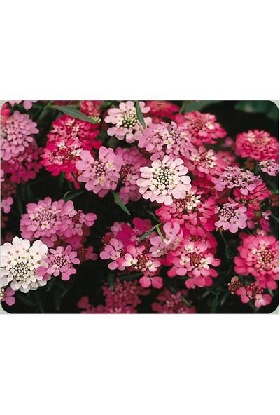 Vilmorin Iberya Çiçeği Çiçek Tohumu