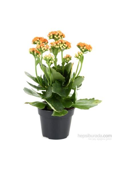 Cumba Dünyası Kalanchoe ( Saksılı Çiçek )
