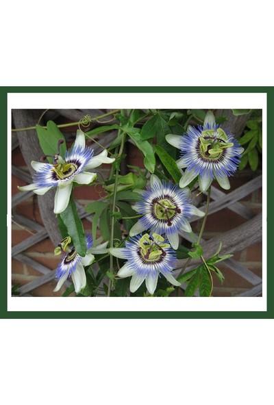 Fidanİstanbul Passiflora Caerulea (Çakıfelek) Fidanı