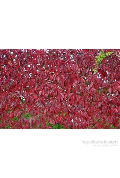 Parthenocissus Quinquefolia-Amerikan Sarmaşığı Fidanı