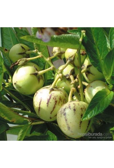 Plantistanbul Pepino Fidesi Ağaç Kavunu Tüplü