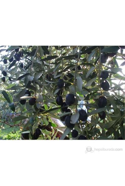Plantistanbul Zeytin Fidanı, Gemlik Trilye Tüplü
