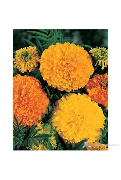 Johnsons 2654 Kadife Çiçeği
