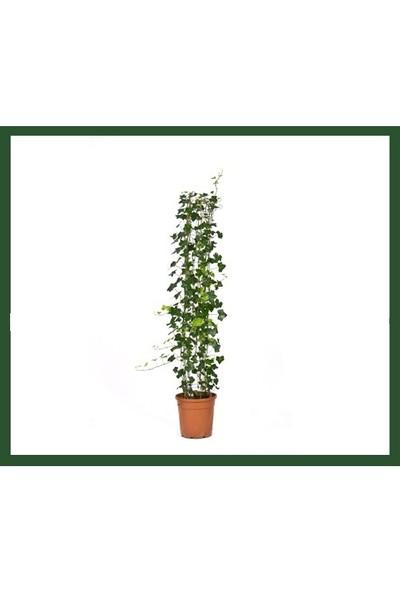 Plantistanbul Orman Helix Sarmaşık Bitkisi