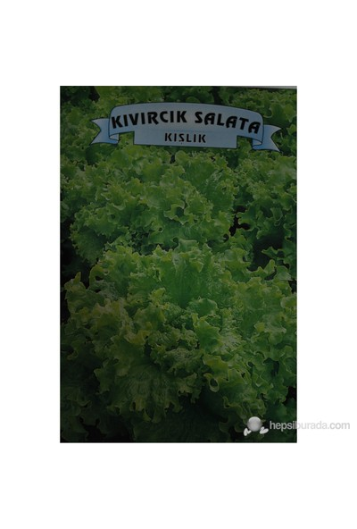 Kıvırcık Salata Kışlık