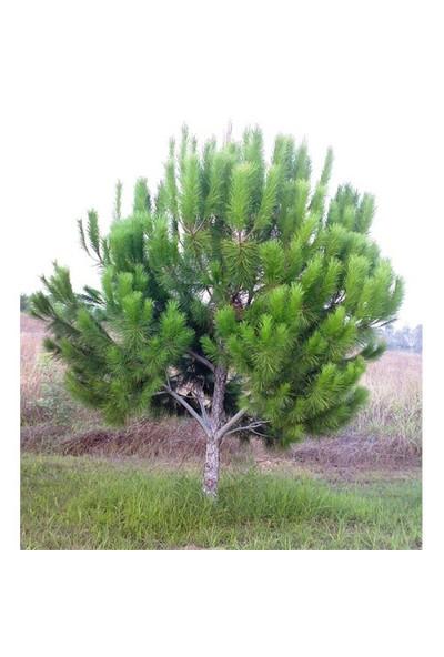 Plantistanbul Pinus Pinea Fıstık Çamı Fidanı 40-60 Cm, Tüplü