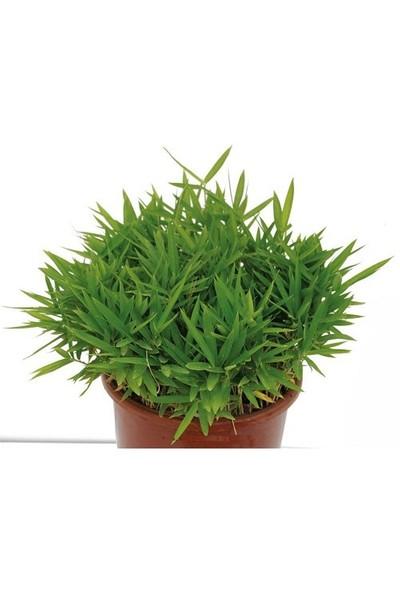 Plantistanbul Bambusa Nana Bodur Bambu, Saksıda