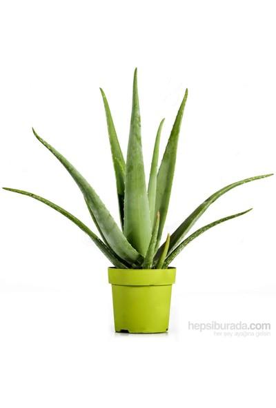 Plantistanbul Aloe Vera Bitkisi Fidesi