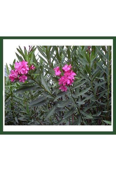 Plantistanbul Nerium Oleander (Pembe Çiçekli Zakkum) Fidanı