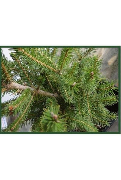 Plantistanbul Canlı Yılbaşı Çam Ağacı