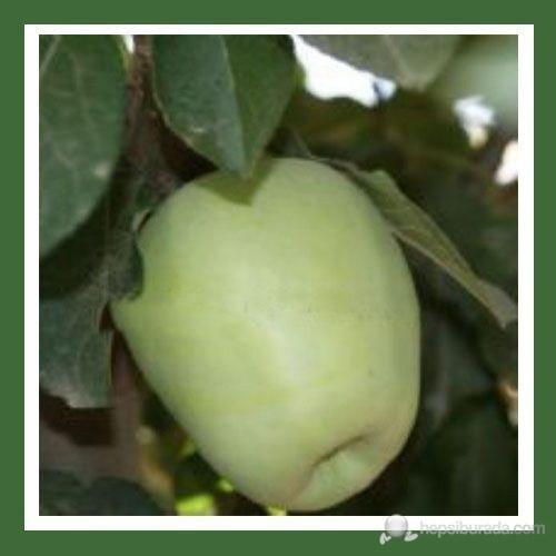 Plantistanbul Elma Fidanı, Anna Aşılı, Açık Kök, +120Cm