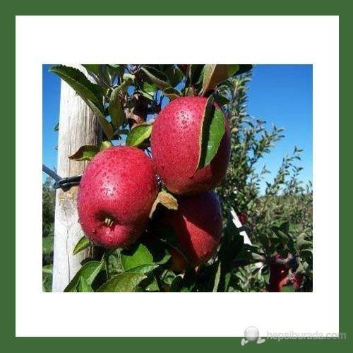 Plantistanbul Elma Fidanı, Erken Kırmızı Aşılı, Tüplü, +120Cm