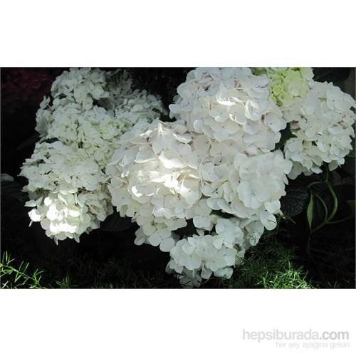 Plantistanbul Ortanca Fidanı, Beyaz, Saksıda, 40-60 Cm