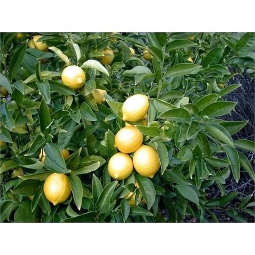 E-Fidancim Tüplü Meyve Verme Yaşında Yediveren Limon Fidanı