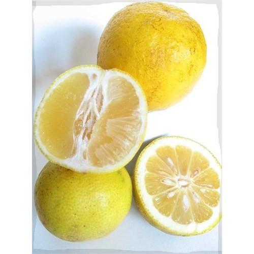 E-Fidancim Tüplü Meyve Verme Yaşında Tatlı Limon Şeker Limon Fidanı