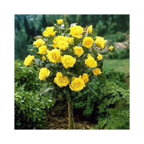 Plantistanbul Sarı Baston Gül, Saksılı +100 Cm