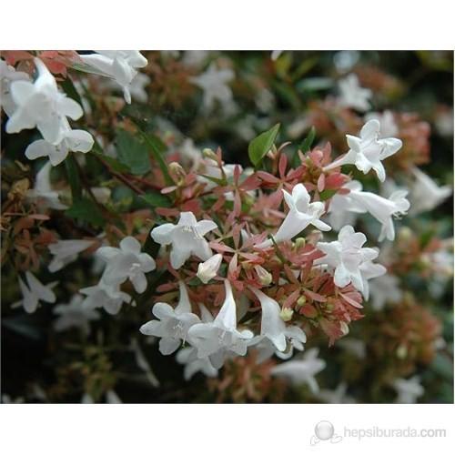 Plantistanbul Abelia Grandiflora- Güzellik Çalısı Fidanı