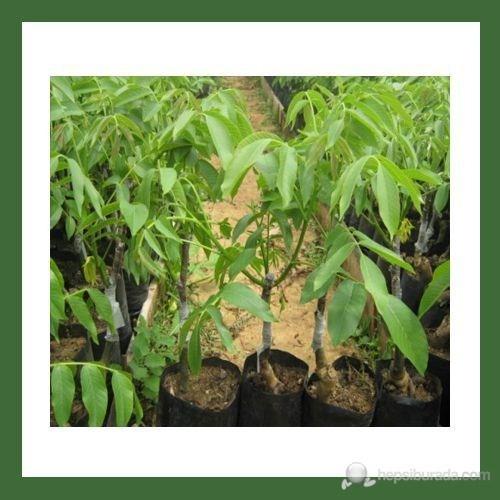Plantistanbul Ceviz Fidanı, Fernette Aşılı, Tüplü