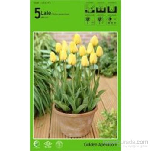 Golden Apeldoorn Lale Soğanı Paketli