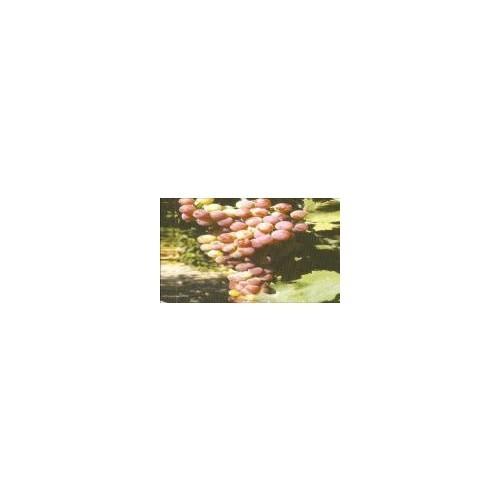 E Fidancımtüplü Pembe Gemre Üzüm Fidanı