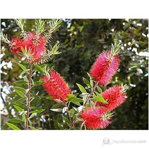 Plantistanbul Callistemon Leavis-Bodur Fırça Çalısı Fidanı