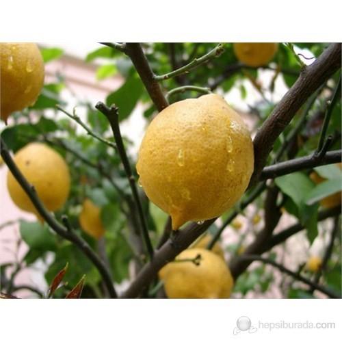 Plantistanbul Narenciye Fidanı Yediveren Limon Tüplü