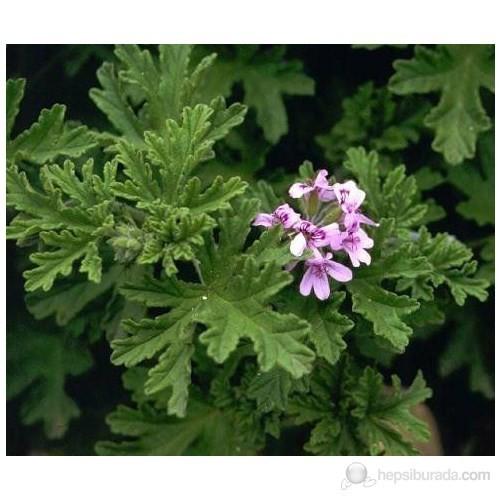 Plantistanbul Palergonium Graveolens-Itır