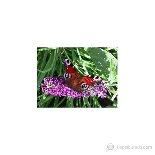 Plantistanbul Buddleja Davidii-Kelebek Çalısı