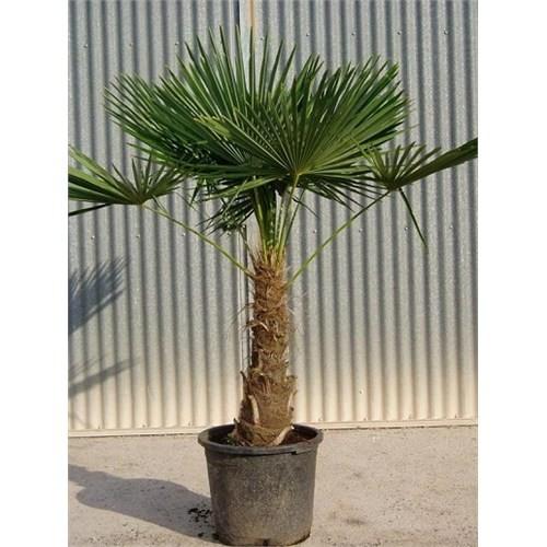 Plantistanbul Chamaerops Excelsa Tüylü Palmiye 20-40 Cm, Saksıda