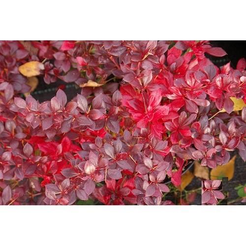 Plantistanbul Berberis X Media Red Jewel Kadın Tuzluğu