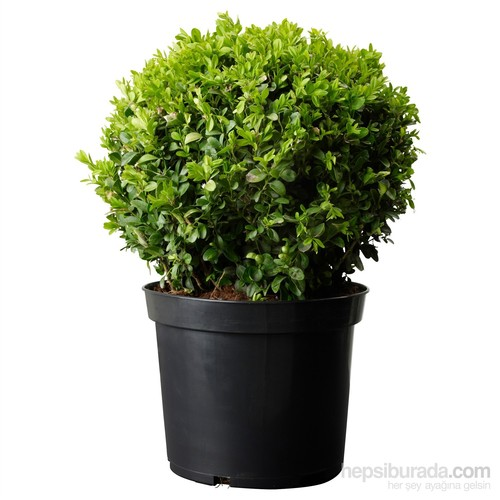 Plantistanbul Buxus Sempervirens Şimşir Fidanı, Saksıda