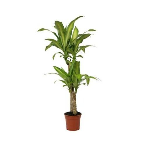 Plantistanbul Dracena Massengena Tekli, Saksıda