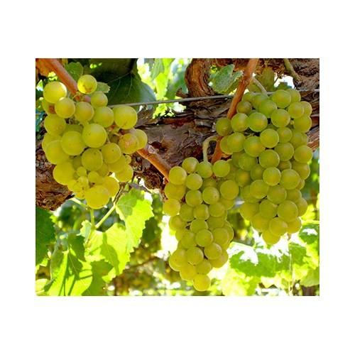 Plantistanbul Asma Üzüm Fidanı Chardonnay (Şardone) Tüplü