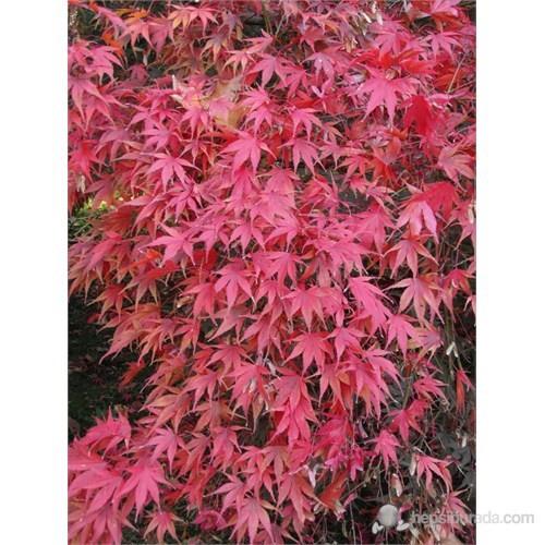 Plantistanbul Acer Palmatum Bonsai İçin