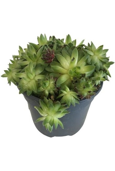 Armenbotanik Sempervivum Jubile - Sukulent - (8,5 Cm'lik Saksıda)