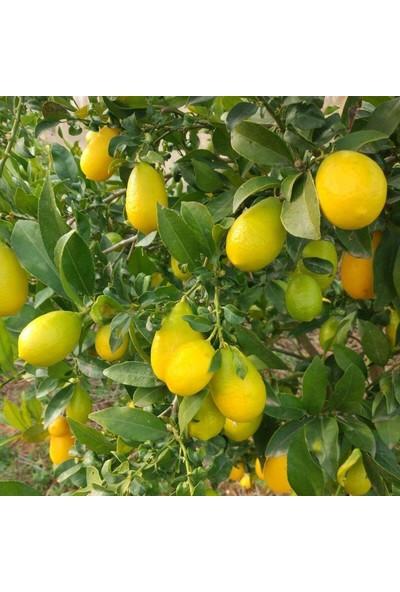 Ases Saksıda 3 Yaş Aşılı Lime Quat (Limon Kamkat) Fidanı 90-110 cm Boy