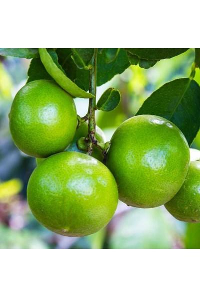 Mutlupaket Tüplü Aşılı Lime Quat Çekirdeksiz Limon Fidanı
