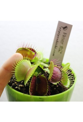 Etobur Bitkim Ekstra Büyük Kapanlı Sinek Kapan Venüs Tohum Yetiştirme Kiti