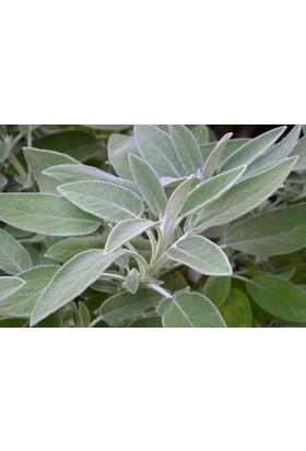 Arzuman Adaçayı (Salvia Offıcınalıs) 50 Adet