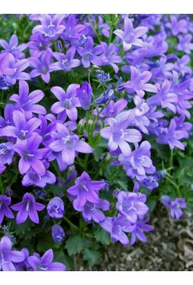 Arzuman Çan Kadeh Çiçeği (Campanula) 100 Adet