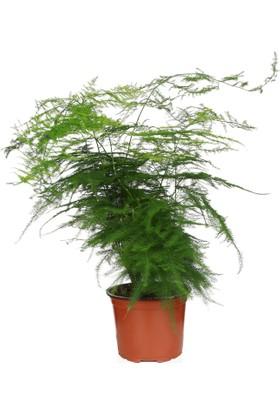 Kaktüs Bahçe Asparagus Setaceus İç Mekan