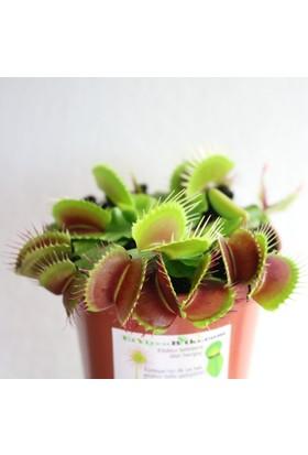 Etobur Bitkim Saksıda Dikili Canlı Yetişkin Sinek Kapan Venüs Bitkisi