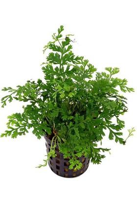 Akvaryumbitkileri Bolbitis heteroclita difformis (baby leaf) 1 Kök 6-7 Yapraklı